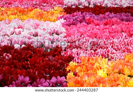 Carpet from multi-colored tulips. - stock photo