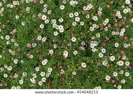 Spanish Daisy Stock Photos Images Pictures Shutterstock