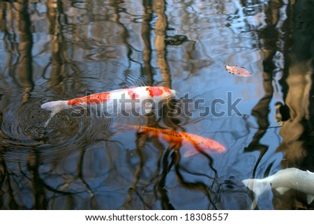 Carps in a pond - stock photo