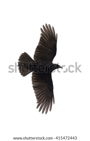 Carrian crow with wide-spread wings isolated against white background - stock photo
