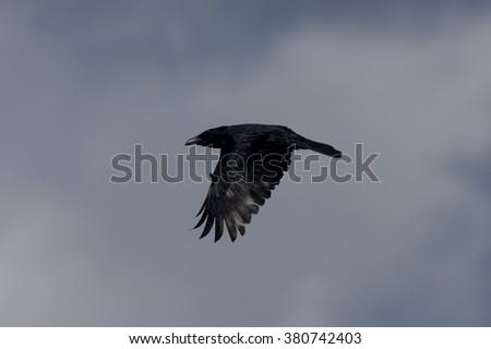 Carrion Crow - stock photo