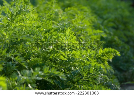 Carrot leaves growing in the garden - stock photo