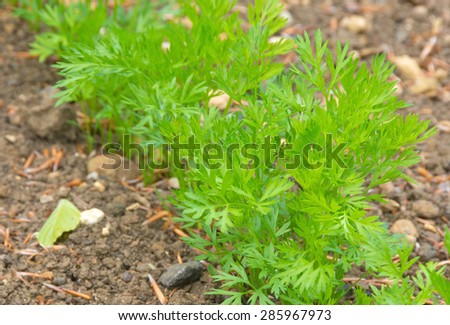 Carrot plants starting to develop in a vegetable plot - stock photo