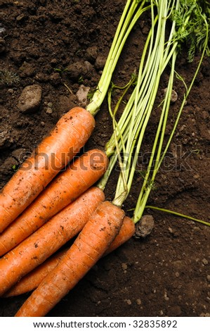 carrots lying on the earth or soil - stock photo
