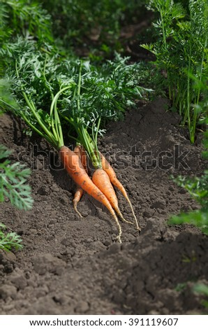 Carrots with green leaves over vegetable bed background. 
