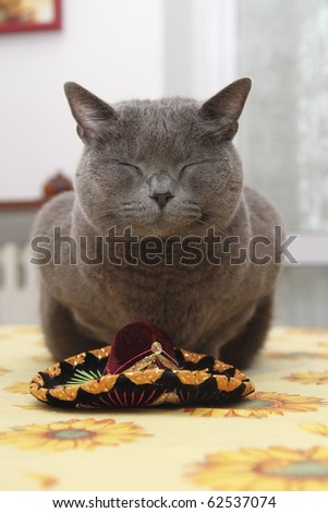 Carthusian cat breed in the foreground - stock photo