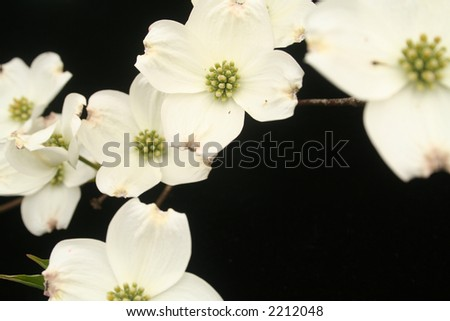 Cascade of dogwood flowers - stock photo