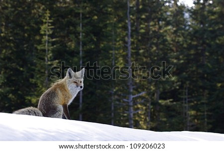 Cascade Red Fox in winter evergreen tree / forest habitat in the Cascade Mountains, Mount Rainier National Park, Washington; Pacific Northwest wildlife / animal / nature / outdoors / recreation - stock photo