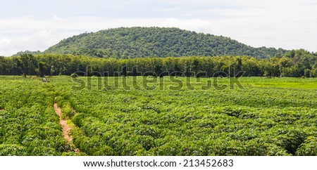Cassava farming of Thailand, with the mountains as a backdrop. - stock photo