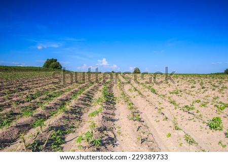 Cassava farmland agriculture in Thailand  - stock photo