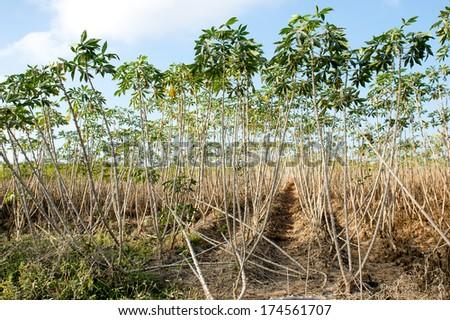 Cassava field. - stock photo