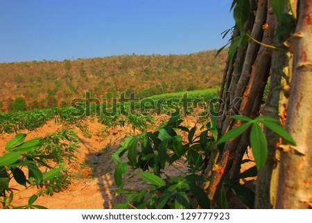 Cassava plantation - stock photo