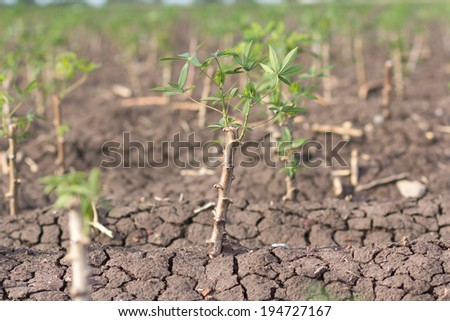 cassava tree in field. closeup - stock photo