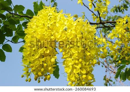 cassia fistula flower on tree (Golden Shower Tree). - stock photo