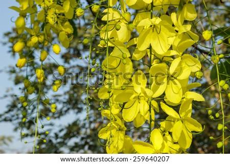 cassia fistula flower on tree (Golden Shower Tree) close up. - stock photo