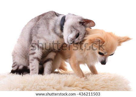 cat and chihuahua are resting isolated on the white background - stock photo