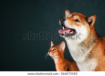 Cat and dog, abyssinian kitten , shiba inu puppy look at left - stock photo