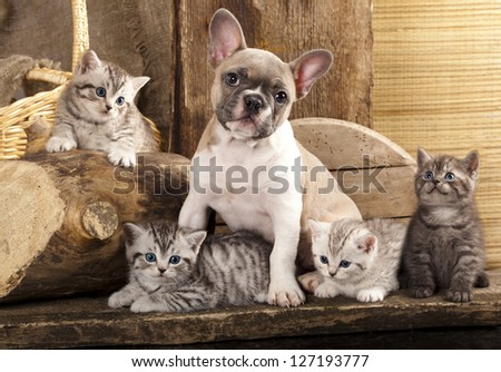 Cat and dog, British kittens and French Bulldog puppy in retro background - stock photo