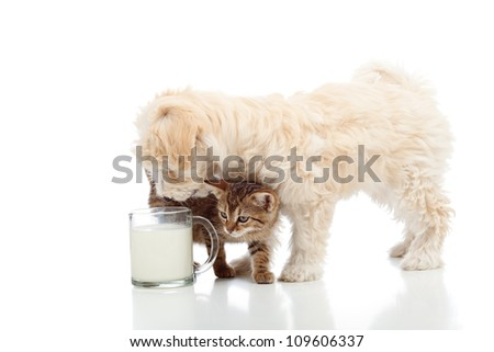 Cat and dog feeding together - stalking the milk cup - stock photo