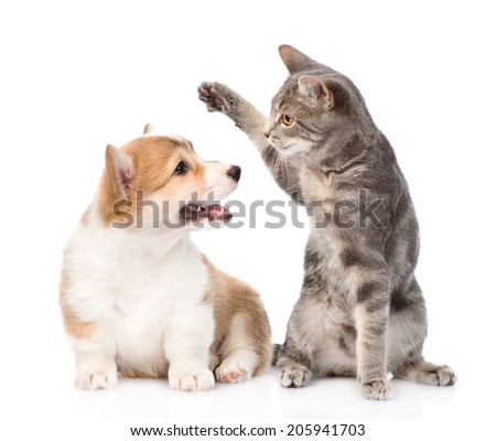 cat and dog fight. isolated on white background - stock photo