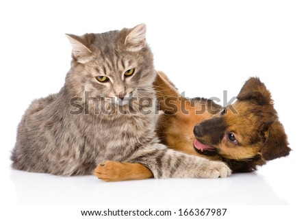 cat and dog fights. isolated on white background - stock photo