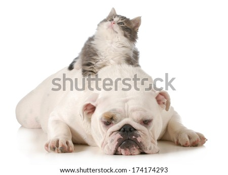 cat and dog - kitten laying on english bulldogs back isolated on white background - stock photo