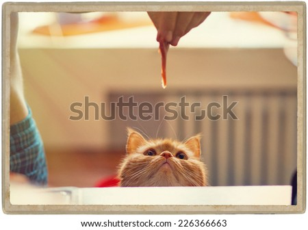 cat and food meat - stock photo