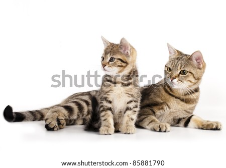 cat and kitten's mother, a European breed - stock photo