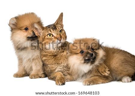 Cat and Pomeranian puppies - stock photo