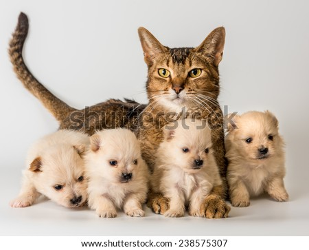 Cat and puppies  in studio on a neutral background - stock photo