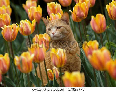 Cat and tulips - stock photo