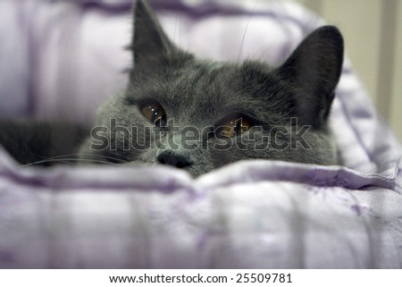 cat at show - stock photo