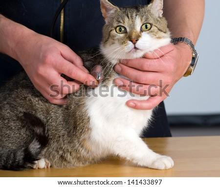 cat at veterinarian - stock photo