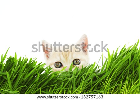 cat behind grass isolated on white background - stock photo