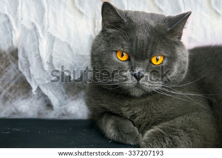 Cat breed British Blue lying on the table on white background - stock photo