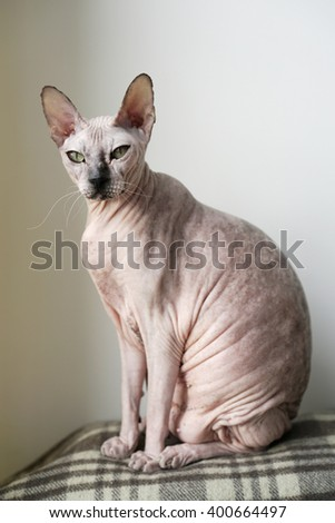 Cat breed Don Sphynx looking at the camera. - stock photo