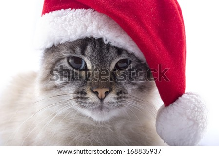 Cat breed Neva Masquerade with Santa Claus hat isolated on white background - stock photo