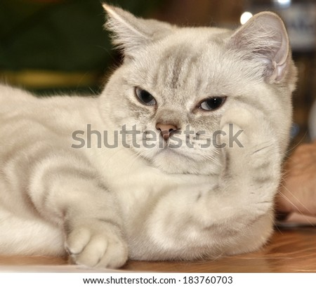 Cat breed RagaMuffin imposingly on the table at the exhibition. Ragamuffins are notable for their friendly personalities and thick, rabbitlike fur. - stock photo
