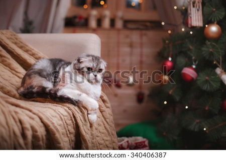 Cat breed Scottish Fold striped gray portrait Christmas and New Year - stock photo