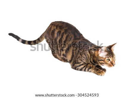 Cat breed Toyger preparing to jump. Isolated on white background - stock photo