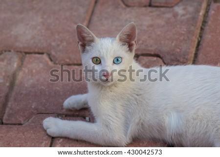 Cat breed Turkish Van or Turkish Angora - stock photo