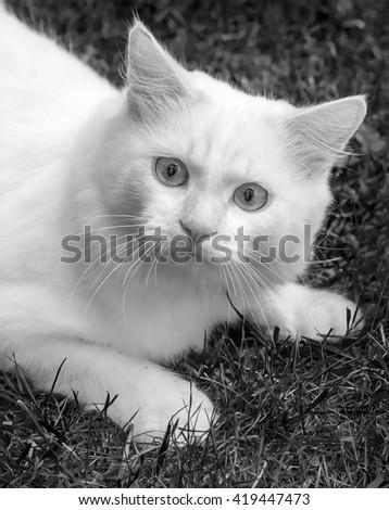 Cat breed Turkish Van (Vankedisi) or Turkish Angora (black and white) - stock photo