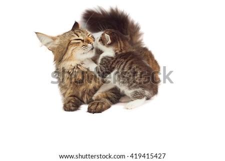 Cat caresses kitten - stock photo