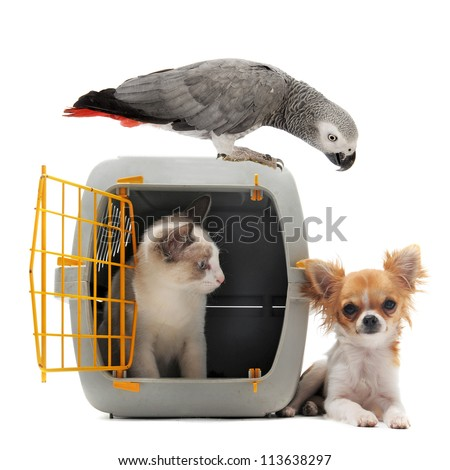 cat closed inside pet carrier, parrot and chihuahua isolated on white background - stock photo