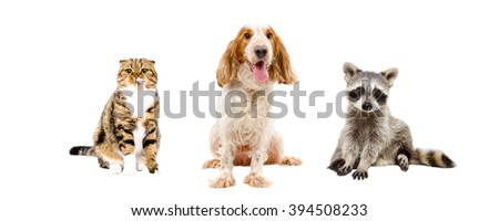 Cat, dog and raccoon sitting togethert isolated on white background - stock photo