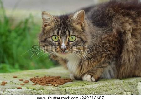 Cat eats dry food, Cat looking - stock photo