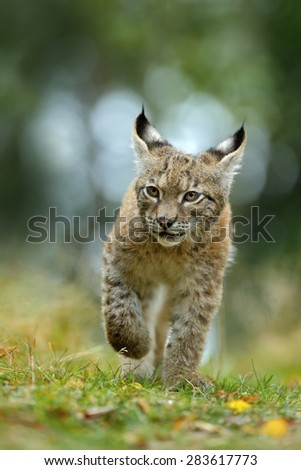 Cat Eurasian lynx in the green grass in czech forest, baby chick - stock photo