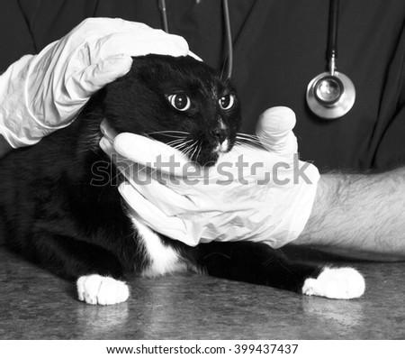 Cat examined by a veterinarian  - stock photo