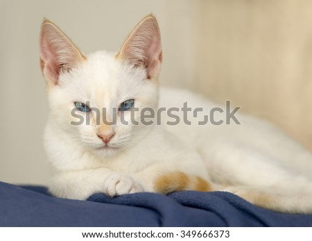 Cat eyes is a beautiful white kitten with very intense blue eyes. - stock photo