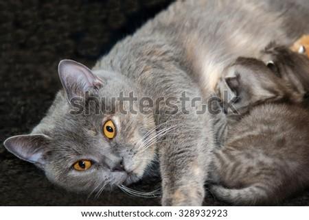 Cat feeding kittens milk, mother cat feed newborn kittens, lactating animals, motherhood and love, British Shorthair blue female. - stock photo
